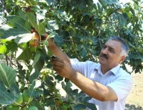 Türkiyede 273 çeşit dişi incir