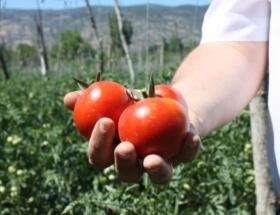 Kazovada domates hasadı moralsiz başladı