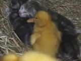 Kedi bakın kime annelik yapıyor