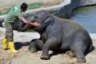 Yavru fil İzmir havuz korkusunu yendi