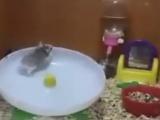 Hamsterların ilginç eğlencesi