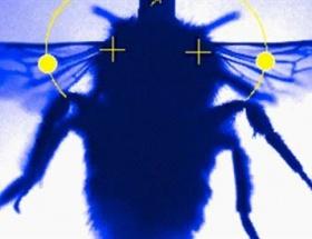 Yaban arısının kanat çırpma anı