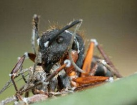 Zombi karıncalar
