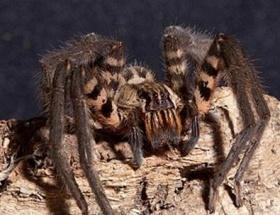 Valizinden yüzlerce örümcek çıktı