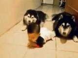 Köpekler bebeğe emeklemeyi öğretiyor