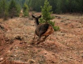 Gümüşhanede kızıl geyikler doğaya salındı