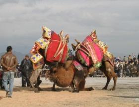 Aydında deve güreşleri başladı