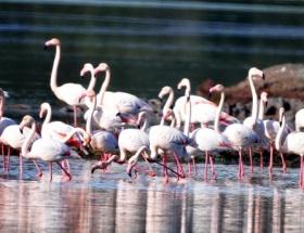 Flamingo cenneti