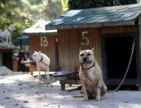 Pitbull cinsi köpekler toplatılıp eğitiliyor