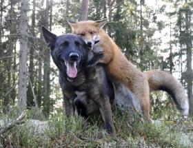Tilkiyle köpeğin dostluğu