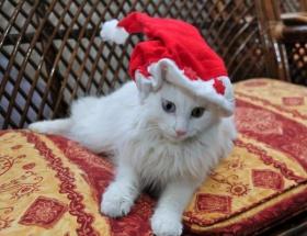 Van kedilerine noel baba şapkası