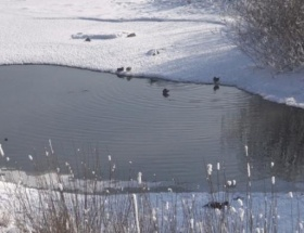 Kura Nehrinin sevimli misafirleri
