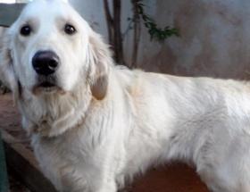 Av köpeğine protez ayak takıldı