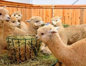 Alpaka Develeri Selçuk Üniversitesinde