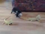 Yavru kedi kertenkelelere karşı