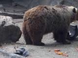 Havuza düşen kargayı kurtaran ayı
