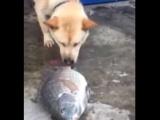 Balığı kurtarmaya çalışan köpek