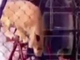 Aslan, kadının kafasını kaptı!