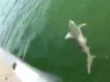Orfoz balığı köpek balığını tek hamlede yuttu