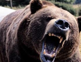 Mantar toplarken ayı saldırdı