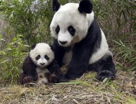Panda dışkısından çay geliyor