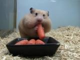 Yavru hamsterın havuç sevgisi