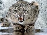 Leopar insanlara böyle saldırdı
