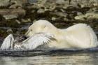 Martı ile kutup ayısının savaşı