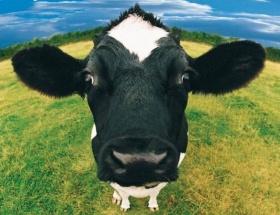 Toplanan inek sütü yüzde 2 azaldı