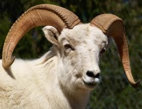 Yangınlara karşı keçi timi