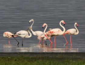 Flamingolar erken geldi
