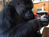 Goril Koko, yavru kedilere annelik yapıyor