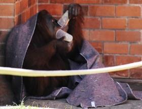 Üşüyen orangutana çorba