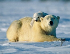 Kutup ayısı evlat edinecekler