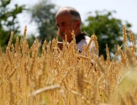 Dünya buğday ekim alanları genişliyor