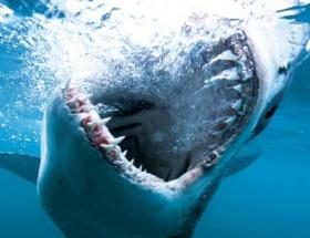 Köpek balığı, dalgıcı öldürdü