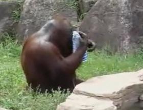 Bu orangutan şaşırtıyor
