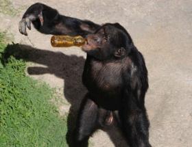 Çay tiryakisi şempanzeler