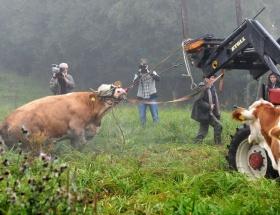 Firari inek yakalandı