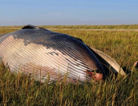 Tarlada ölü balina