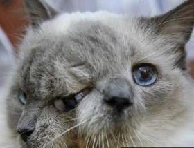 İki yüzlü kedi 12 yaşında