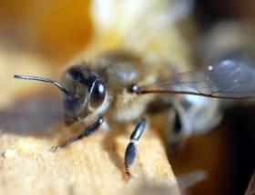 Zombi arılar