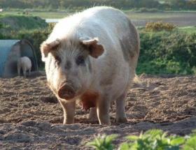 Marmariste kaçak domuz eti operasyonu