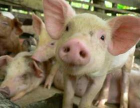 Helal domuz eti tartışması