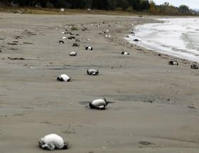 Binlerce ölü kuş sahile vurdu