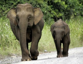 Pigme fil turisti öldürdü