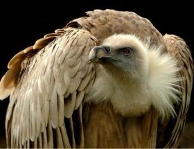 İsrailin casus kuşu yakalandı