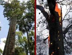 3500 yıllık ağaç yandı