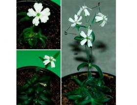 31 bin yaşında çiçek açtı!