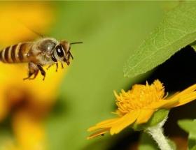 Arıların katili bulundu